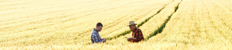 Image showing the middle of a corn field in which, a little distance away, two men are standing up to their hips in the corn and chatting